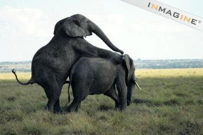 Elephant sex photo
